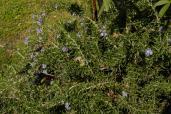 Castelseprio - Flora
